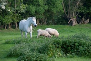 White horse and grazing sheep in grassy woodland.